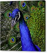 Peacock Head And Tail Canvas Print