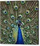Peacock In Full Pulmage Canvas Print