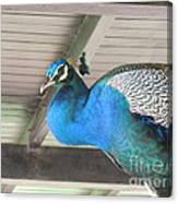 Peacock In The Rafters Canvas Print