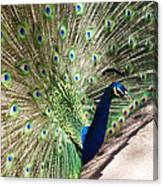 Peacock Show Canvas Print