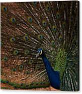 Peacock Show Off Canvas Print