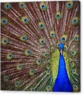 Peacock Squared Canvas Print