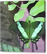 Peacock Swallowtail Canvas Print