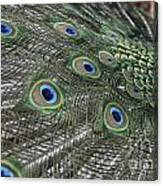 Peacock's Feathers Canvas Print