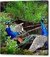 Peacocks In The Garden Canvas Print