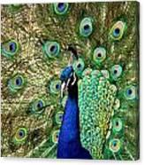 Peacocky Attitude Canvas Print