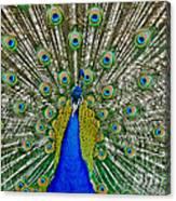 Peafowl Peacock Canvas Print