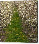 Pear Blossom Lane Canvas Print