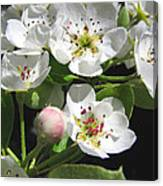 Pear Blossom Special Canvas Print