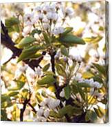 Pear Blossoms Canvas Print