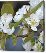 Pear Tree Blooms Canvas Print