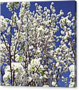 Pear Tree Blossoms In Spring Canvas Print