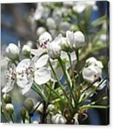 Pear Tree In Bloom Canvas Print