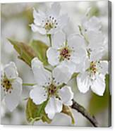 Pear Tree White Flower Blossoms Canvas Print