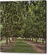 Pecan Orchard Sahuarita Arizona Canvas Print