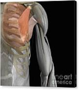 Pectoralis Minor Muscle Canvas Print