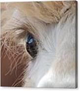 Peek A Boo Alpaca Canvas Print