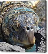 Peek-a-boo Turtle Canvas Print