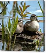Peeking Ducks Canvas Print