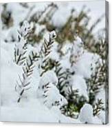 Peeking Through The Snow Canvas Print
