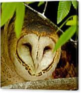 Peering Barn Owl Canvas Print