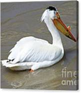 Pelecanus Eerythrorhynchos Canvas Print