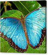 Peleides Blue Morpho Canvas Print