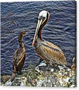 Pelican And American Black Duck Canvas Print
