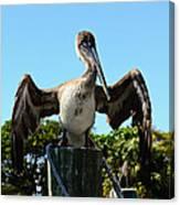 Pelican At Rest Canvas Print