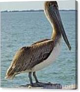 Pelican At The Gulf Canvas Print