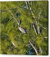 Pelican In The Trees Canvas Print