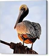 Pelican Looking Back Canvas Print