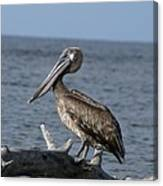 Pelican On Driftwood Canvas Print