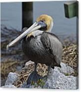 Pelican On Rocks Canvas Print