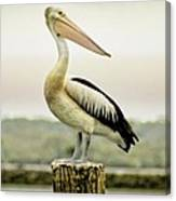 Pelican Poise Canvas Print