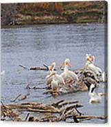 Pelican Rest Stop Canvas Print