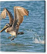 Pelican Taking Off Canvas Print