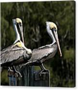 Pelican Threesome Canvas Print