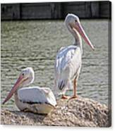 Pelicans By The Pair Canvas Print