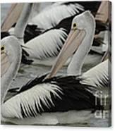 Pelicans Galore Canvas Print