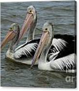 Pelicans In Australia 3 Canvas Print