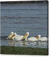 Pelicans In Floodwaters Canvas Print