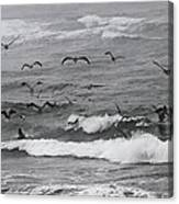 Pelicans Lunching At Ft. Stevens Oregon Canvas Print