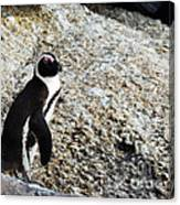 Penguin Chilling On Rock At Boulders Beach Cape Town  Canvas Print