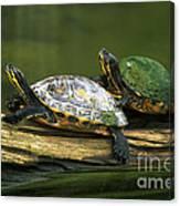 Peninsula Cooter Turtles Canvas Print