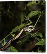 Peninsula Ribbon Snake Canvas Print