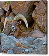 Peninsular Desert Bighorn Canvas Print
