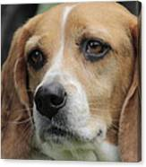 The Beagle Named Penny Canvas Print