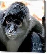 Pensive Monkey Canvas Print