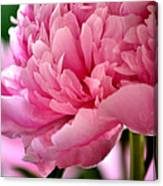 Peonies In The Pink Canvas Print